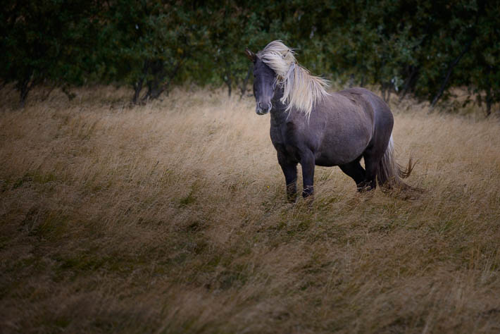 islandpony - Islandpferd