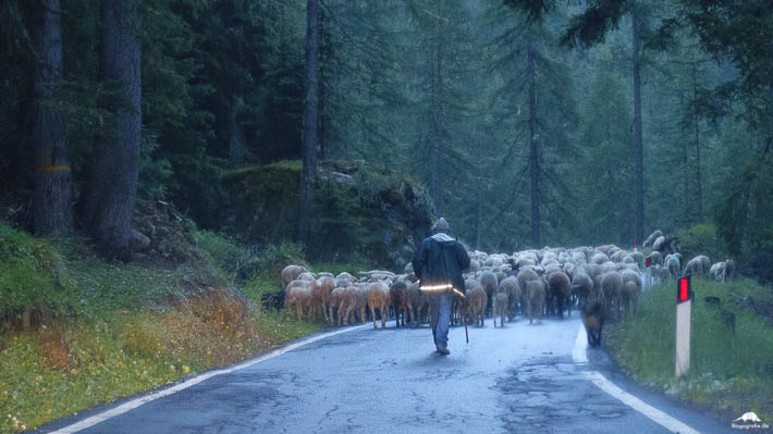 Martelltal Schafe