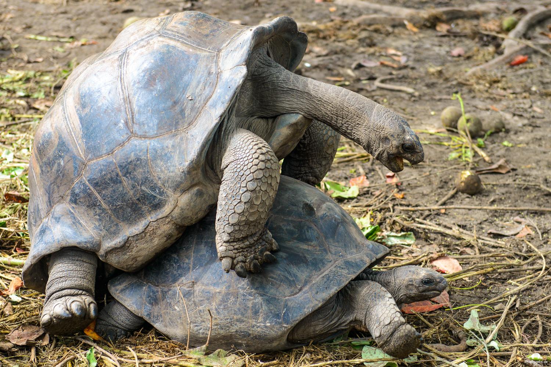 Anse Source d'Argent - Riesenschildkröten