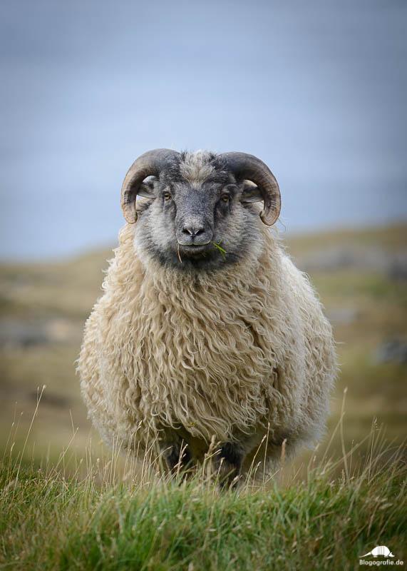 Schafe der Färöer-Inseln