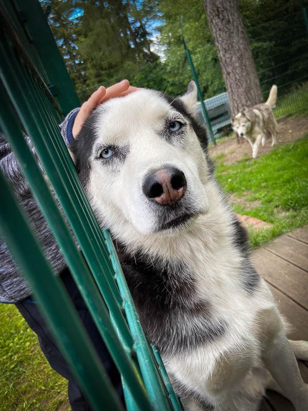 Schlittenhunde am Campinplatz Schierker Stern im Harz