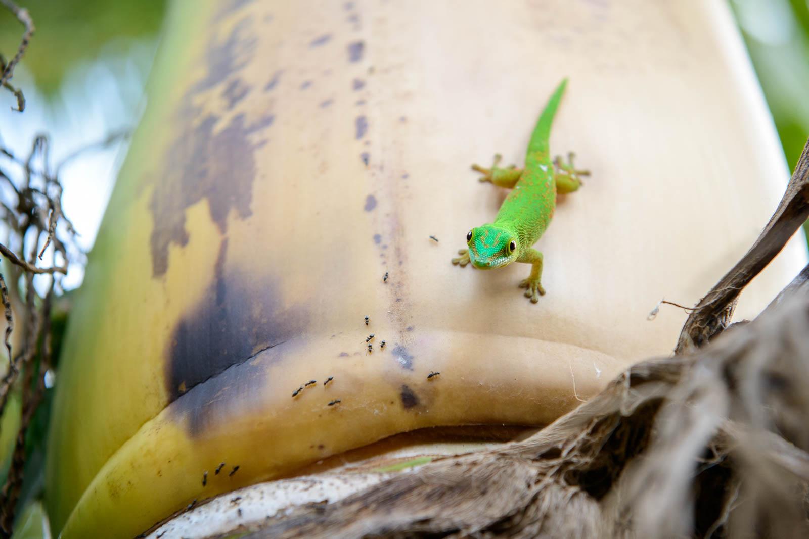 Ein Gecko auf Praslin