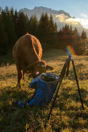 Eine Kuh am Rucksack auf der Brettalm bei Lermoos in der Tiroler Zugspitz Arena